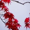 Read leaves along the street, Koyasan (Japan)